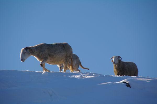Moutons rejoignant leur bergerie à Lizonne