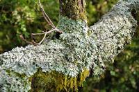 Lichens et mousses