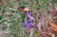Violettes printanières