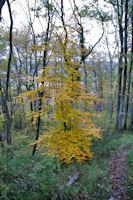 Hetre aux parures d'automne