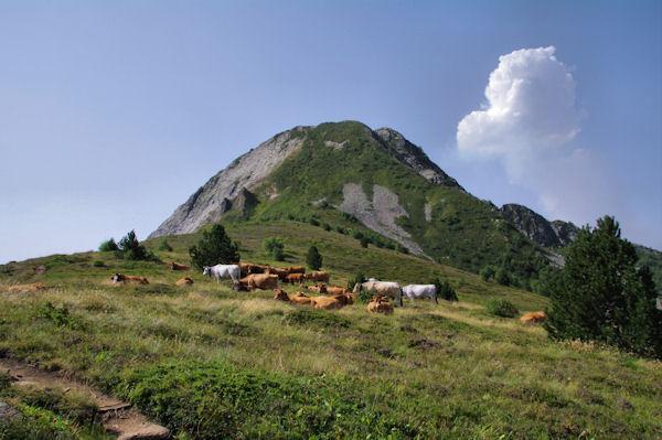 Un troupeau de vaches au Sarrat de la Llau, droit devant, la Dent d_Orlu