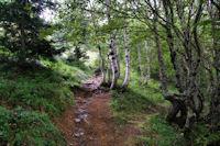 Le bois sous le Sarrat de la Llau
