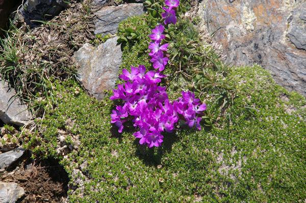 Des jolies fleurs à plus de 3000m