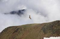 Un vautour fauve au sommet du Pic de Montcalm