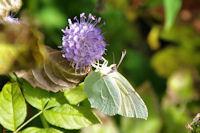 Papillon au festin