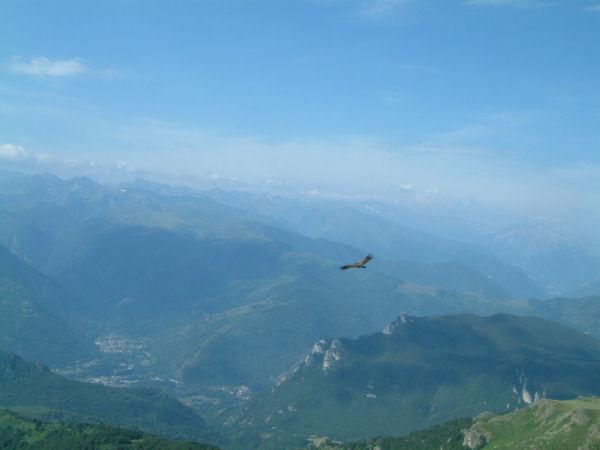 Un vautour volant vers la vallée de l'Ariège