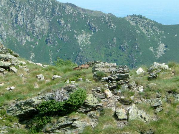Une chèvre et son chevreau près du col du Han