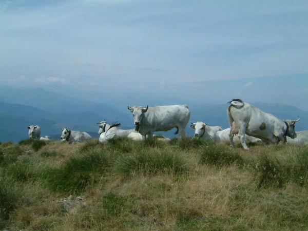 Un troupeau de vache sur un petit sommet après le col du Han