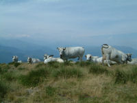 Un troupeau de vache sur un petit sommet apres le col du Han