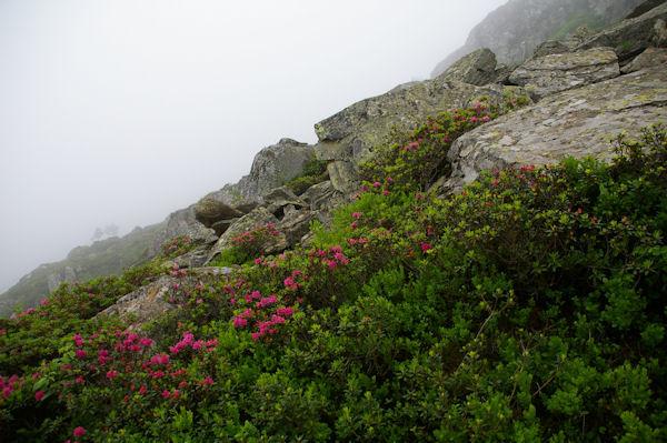 Les rhododendrons sont de sortie au dessus de l_Orris de Pla de Nouzère