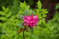 Les rhododendrons sont en fleur