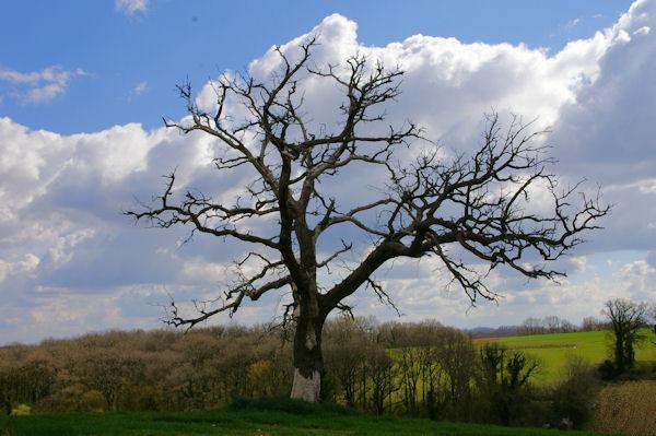 Un bel arbre à vécu vers Le Gajon