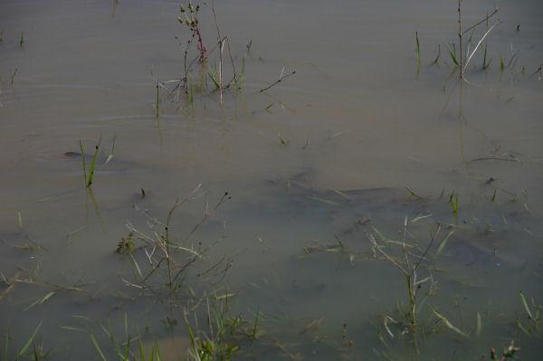 Des poissons en train de frayer au bord du lac