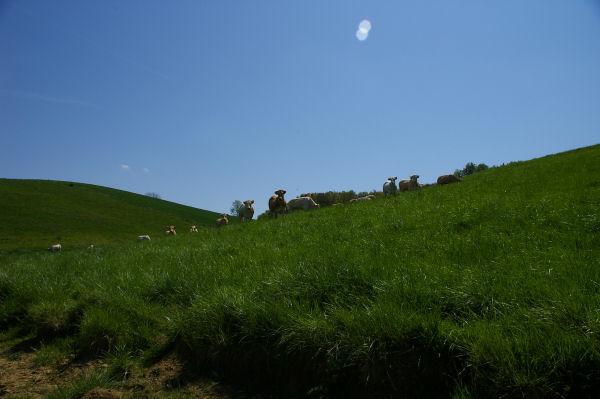 Un troupeau de vaches sous Betpoué