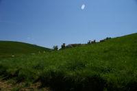 Un troupeau de vaches sous Betpoue