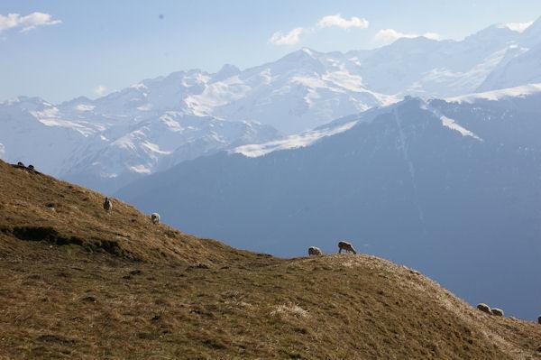 Des brebis au dessus d_Artigue, au fond, Superbagnères et plus loin les Pics des Crabioules et du Maupas