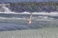 Jeune goéland dans les rapides