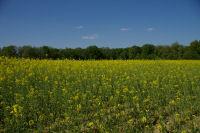 Un champ de colza vers Paulhac