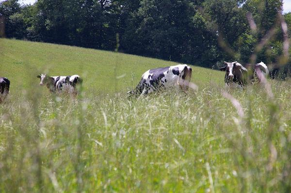 Des vaches à Cantin