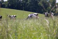Des vaches a Cantin