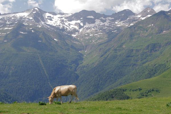 Vache en estive, au fond, Le Pic de Maupas, le Pic des Crabioules, le Pic Lézat et le Grand Quayrat