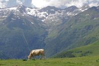 Vache en estive, au fond, Le Pic de Maupas, le Pic des Crabioules, le Pic Lezat et le Grand Quayrat