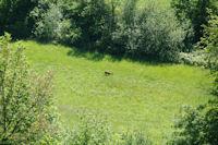 Un chevreuil broute, depuis la route du Moulin de Saman