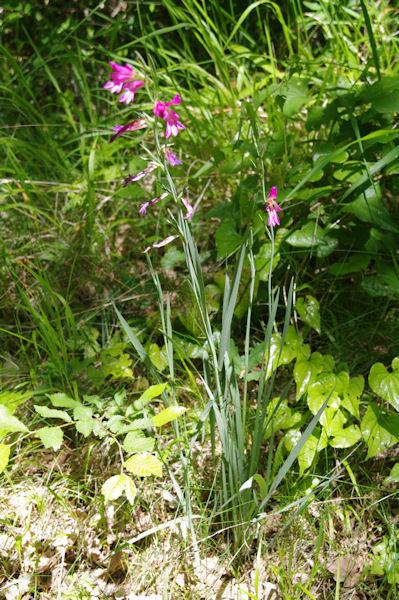 Des orchidées sous Les Oubats