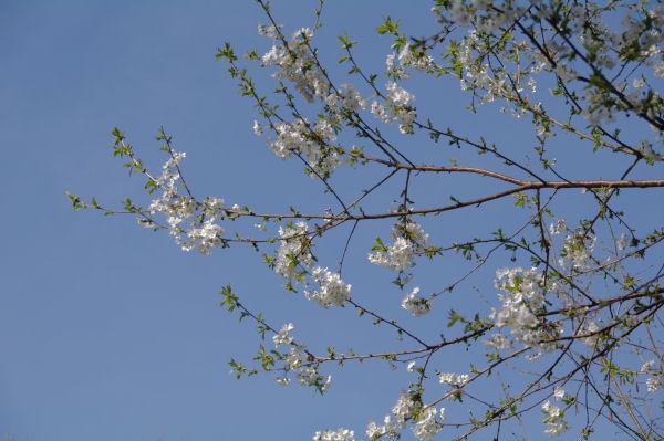 Les cerisiers sont en fleur, c_est le printemps