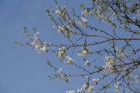 Les cerisiers sont en fleur, c'est le printemps