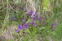 Un bouquet de Grassette en fleur