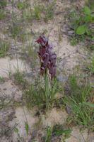 Une Orchidee pourpre (Serapias vomeracea)