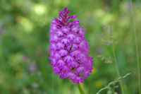 Un orchidee (Orchis pyraramidal)