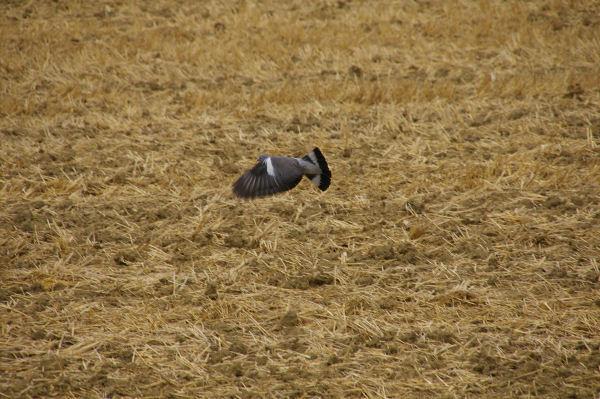 Le vol du pigeon