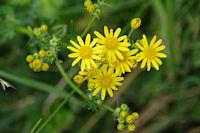 Jolies fleur vers Picharrot