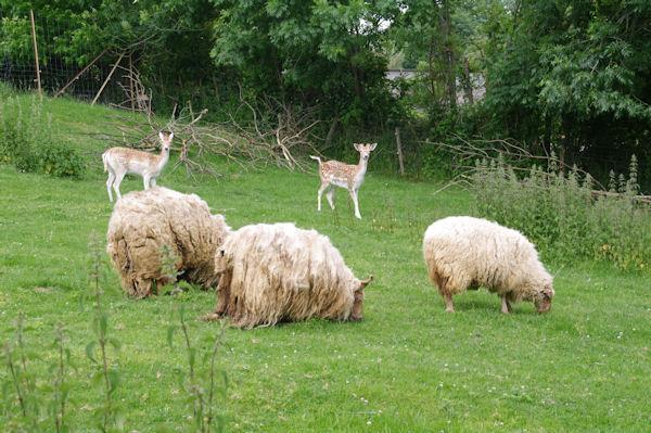 Des moutons à dredes et des daims à Lespugue