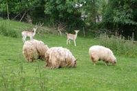 Des moutons a dredes et des daims a Lespugue