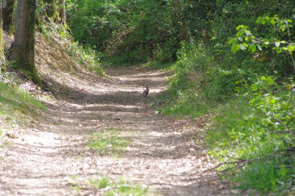 Un lièvre sur le chemin dans le vallon de la Bajudère