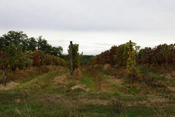 Des vignes à Millet
