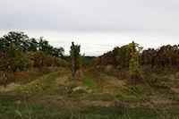 Des vignes a Millet