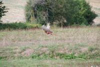 Un vol de faisan a la Gueillette