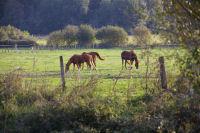Quelques chevaux sur les bords de la Saune