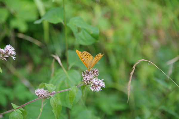 Un papillon en Forêt de Mauboussin