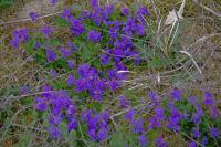 Des violettes!