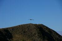 Un vautour sur fond de sommet du Tech