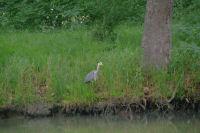 Encore un heron sur le Canal du Midi