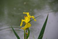 Les iris jaune tout au long du Canal du Midi