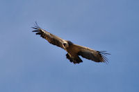 Joli vautour fauve