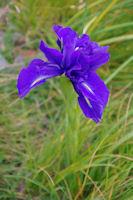 Un des rares iris rencontre ce jour la