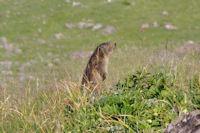 Marmotte aux aguets!